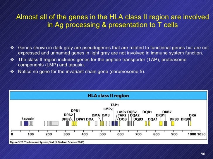 Almost all of the genes in the HLA class II region are involved in Ag processing & presentation to T cells <ul><li>Genes s...