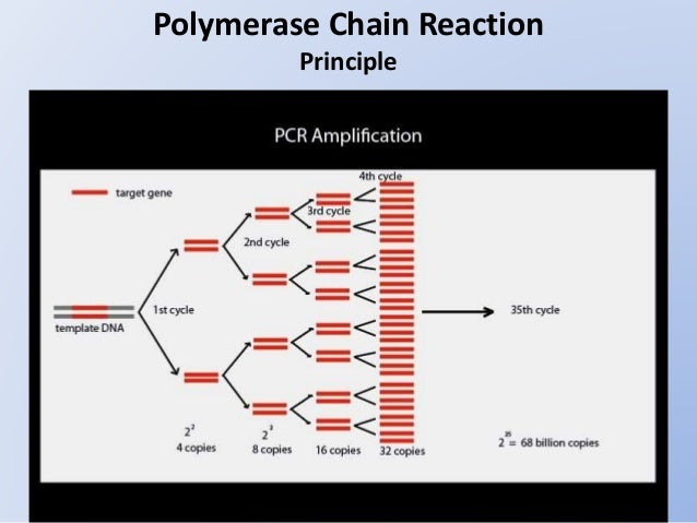principles of dna preparation and polymerase chain reaction Mologous dna and rna segments in the same assay the principle of diff- pcr is presented in figure 1 two sequence-spe- cific primers were used to produce a d-amplicon from dsdna (fig la) be- fore starting pcr, reverse transcription (rt) of rna was performed with an an- tisense primer, carrying a 5' end non.