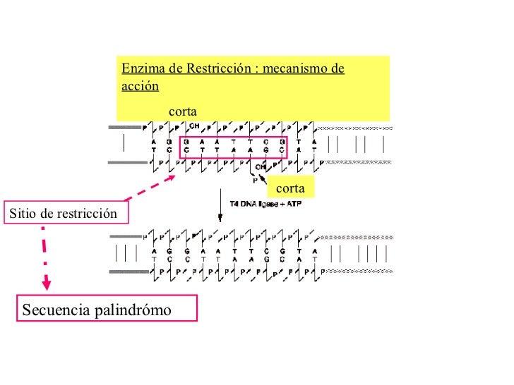 PCR MARCADORES MOLECULARES Slide 3