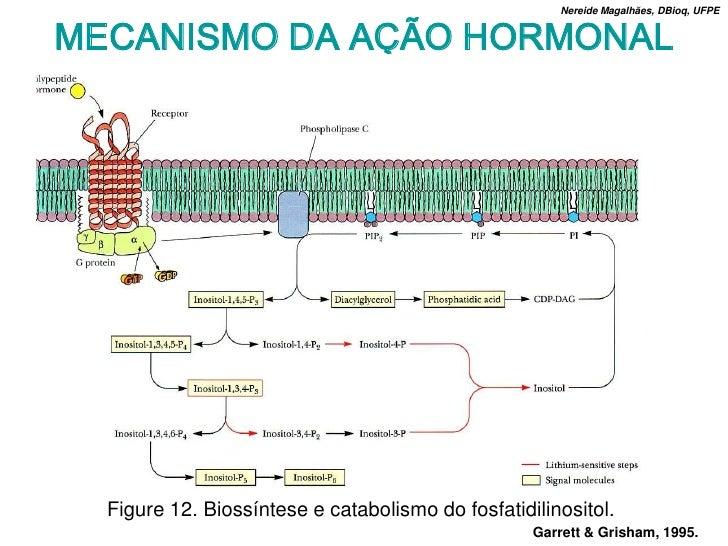 Nereide Magalhães, DBioq, UFPE   MECANISMO DA AÇÃO HORMONAL       Figure 12. Biossíntese e catabolismo do fosfatidilinosit...