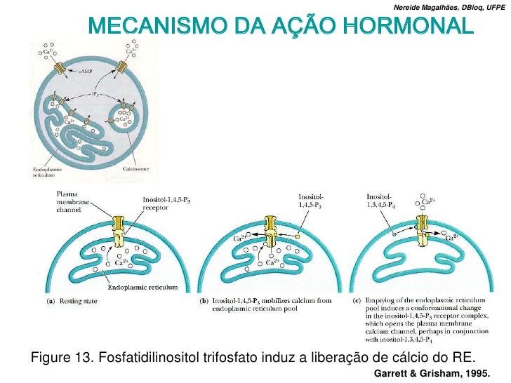 Nereide Magalhães, DBioq, UFPE            MECANISMO DA AÇÃO HORMONAL     Figure 13. Fosfatidilinositol trifosfato induz a ...
