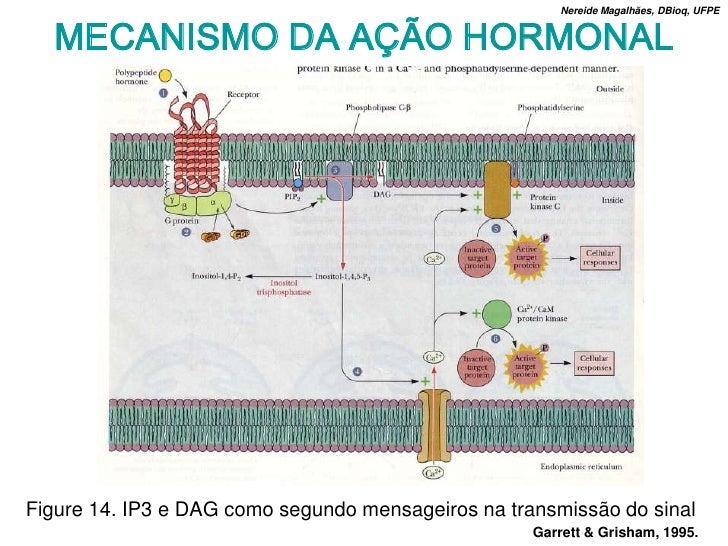 Nereide Magalhães, DBioq, UFPE     MECANISMO DA AÇÃO HORMONAL     Figure 14. IP3 e DAG como segundo mensageiros na transmi...