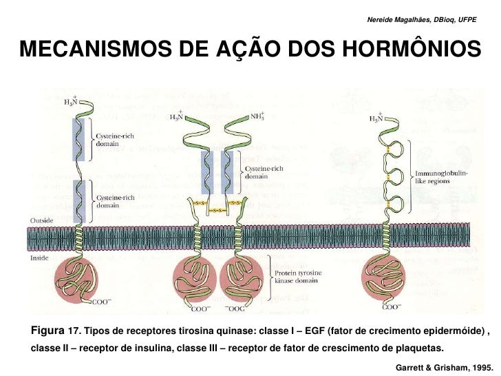 Nereide Magalhães, DBioq, UFPE    MECANISMOS DE AÇÃO DOS HORMÔNIOS     Figura 17. Tipos de receptores tirosina quinase: cl...