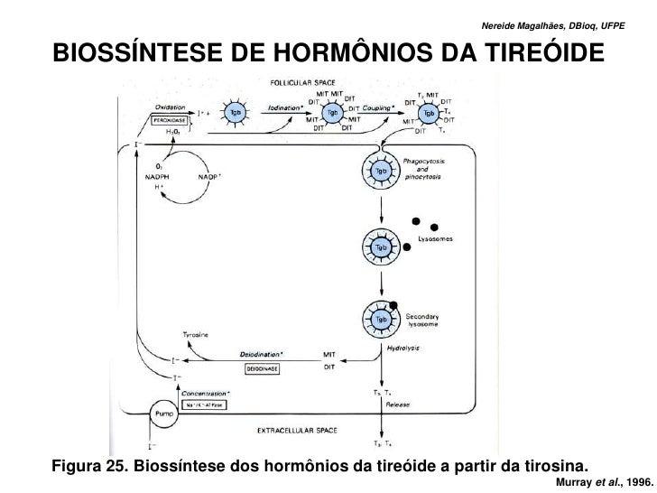 Nereide Magalhães, DBioq, UFPE   BIOSSÍNTESE DE HORMÔNIOS DA TIREÓIDE     Figura 25. Biossíntese dos hormônios da tireóide...