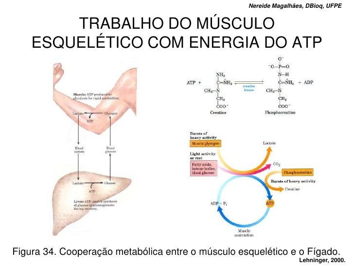 Nereide Magalhães, DBioq, UFPE           TRABALHO DO MÚSCULO     ESQUELÉTICO COM ENERGIA DO ATP     Figura 34. Cooperação ...