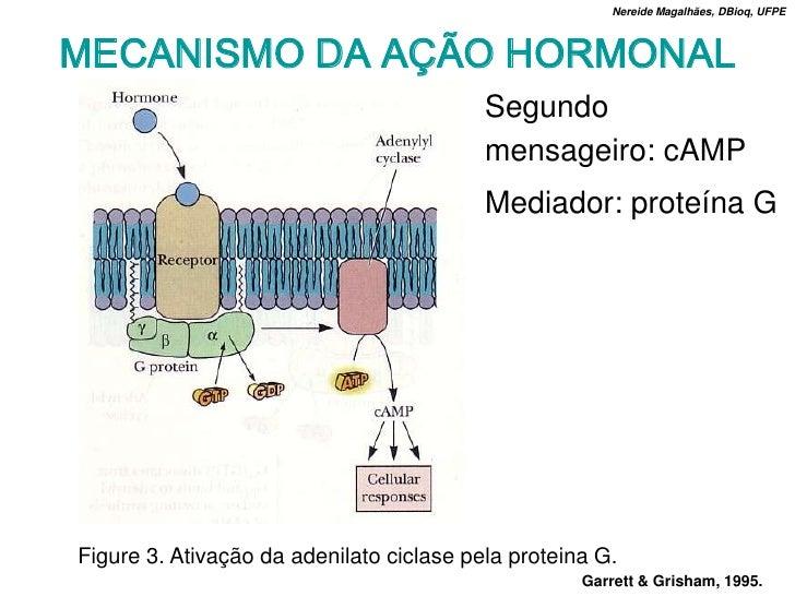 Nereide Magalhães, DBioq, UFPE    MECANISMO DA AÇÃO HORMONAL                                           Segundo            ...