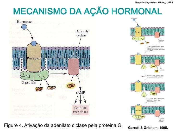 Nereide Magalhães, DBioq, UFPE        MECANISMO DA AÇÃO HORMONAL     Figure 4. Ativação da adenilato ciclase pela proteina...