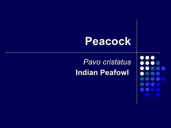 Peacock Pavo cristatus Indian Peafowl