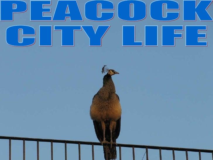 PEACOCK CITY LIFE