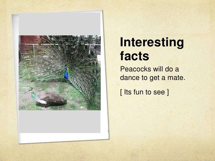 Peafowl Skye
