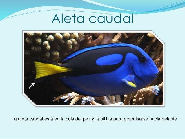 Aleta caudal La aleta caudal está en la cola del pez y la utiliza para propulsarse hacia delante