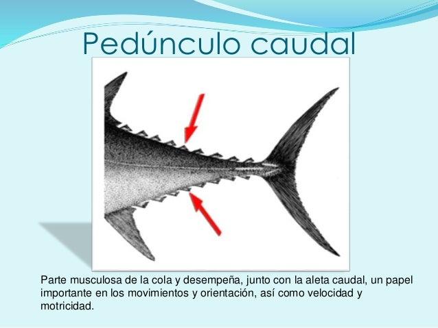 Pedúnculo caudal Parte musculosa de la cola y desempeña, junto con la aleta caudal, un papel importante en los movimientos...