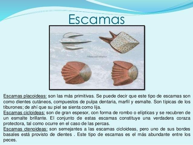 Escamas Escamas placoideas: son las más primitivas. Se puede decir que este tipo de escamas son como dientes cutáneos, com...
