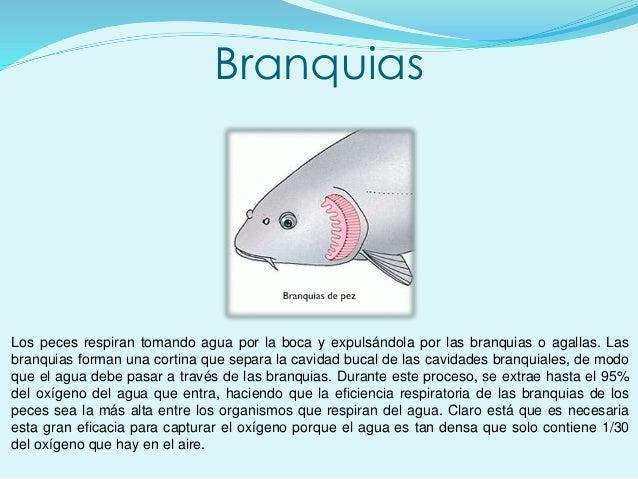 Branquias Los peces respiran tomando agua por la boca y expulsándola por las branquias o agallas. Las branquias forman una...