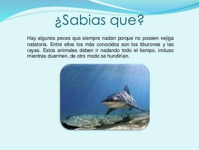 ¿Sabias que? Hay algunos peces que siempre nadan porque no poseen vejiga natatoria. Entre ellos los más conocidos son los ...