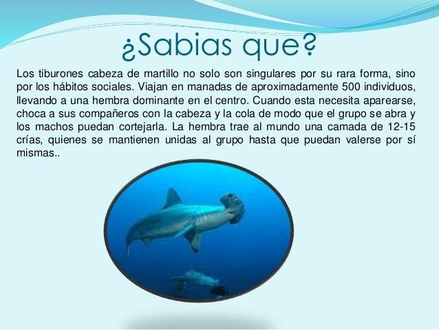 ¿Sabias que? Los tiburones cabeza de martillo no solo son singulares por su rara forma, sino por los hábitos sociales. Via...