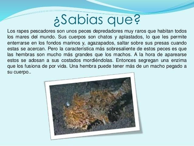 ¿Sabias que? Los rapes pescadores son unos peces depredadores muy raros que habitan todos los mares del mundo. Sus cuerpos...