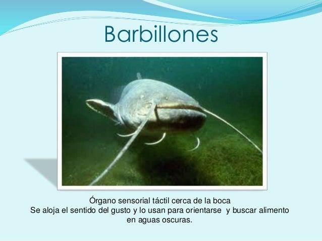 Barbillones Órgano sensorial táctil cerca de la boca Se aloja el sentido del gusto y lo usan para orientarse y buscar alim...
