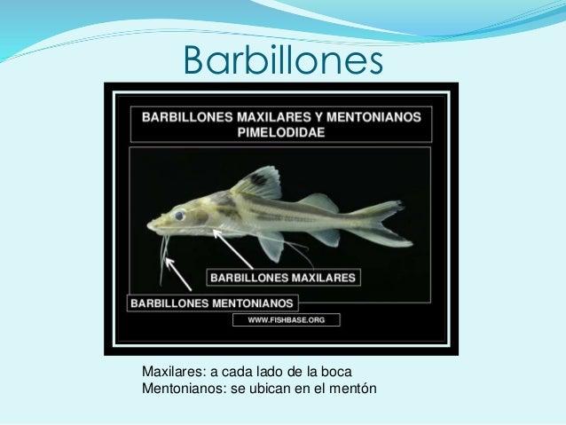 Barbillones Maxilares: a cada lado de la boca Mentonianos: se ubican en el mentón