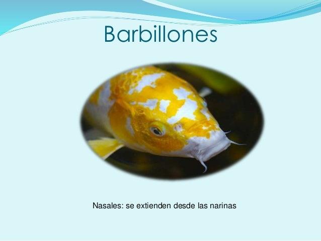 Barbillones Nasales: se extienden desde las narinas
