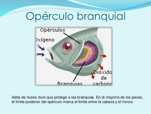 Opérculo branquial Aleta de hueso duro que protege a las branquias. En la mayoría de los peces, el límite posterior del op...