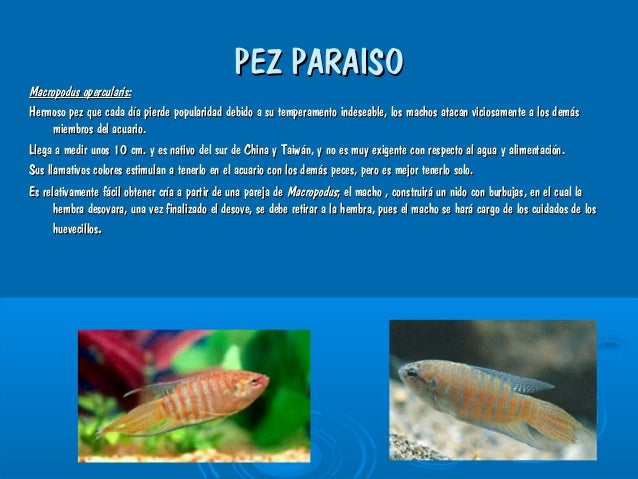Peces de ornamentales de agua dulce trabajo actual for Cria de peces ornamentales