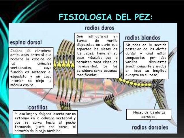 Peces Anatomia Morfologia Y Fisologia
