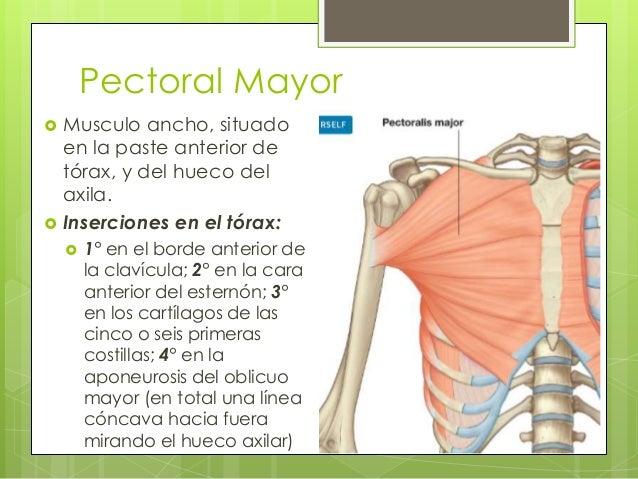 Pectoral Mayor  Musculo ancho, situado en la paste anterior de tórax, y del hueco del axila.  Inserciones en el tórax: ...