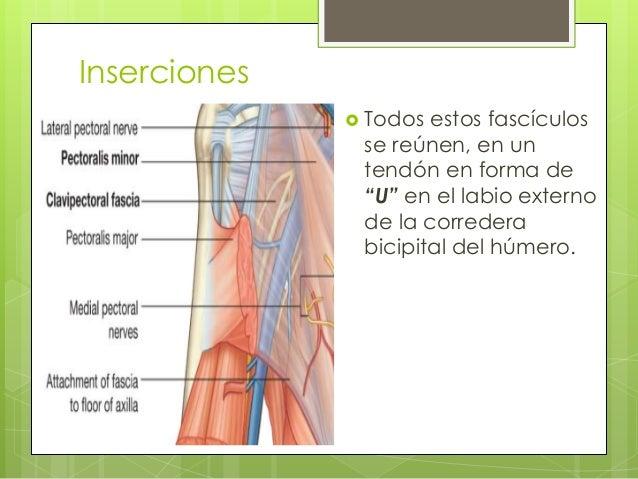 """Inserciones  Todos estos fascículos se reúnen, en un tendón en forma de """"U"""" en el labio externo de la corredera bicipital..."""