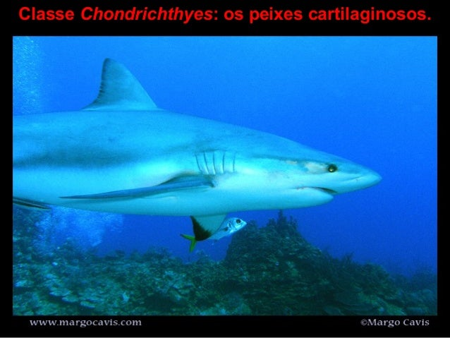 Classe Chondrichthyes: os peixes cartilaginosos.