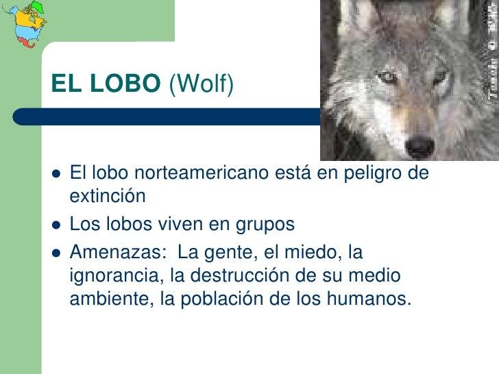 EL LOBO (Wolf)   El lobo norteamericano está en peligro de    extinción   Los lobos viven en grupos   Amenazas: La gent...