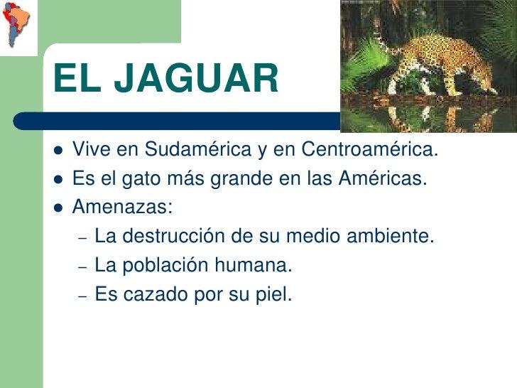 EL JAGUAR   Vive en Sudamérica y en Centroamérica.   Es el gato más grande en las Américas.   Amenazas:    – La destruc...