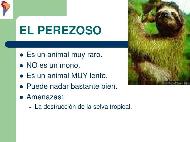 EL PEREZOSO   Es un animal muy raro.   NO es un mono.   Es un animal MUY lento.   Puede nadar bastante bien.   Amenaz...