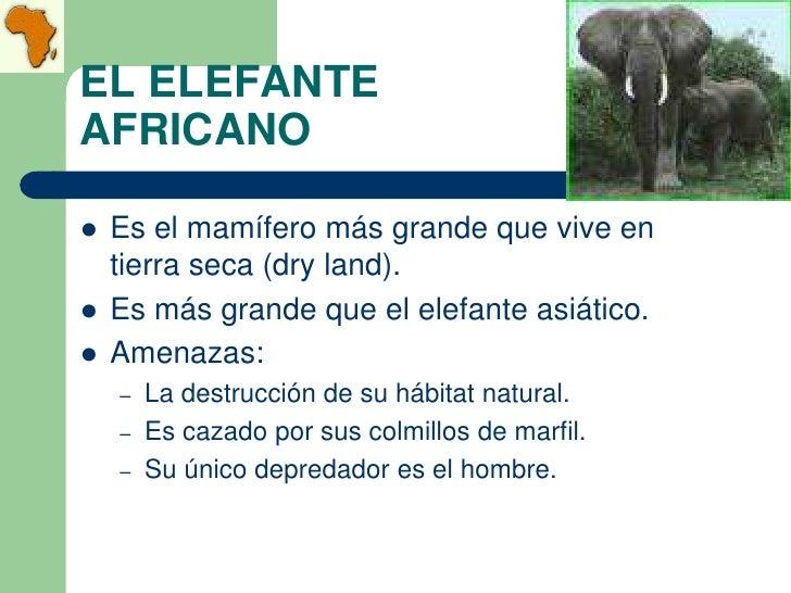 EL ELEFANTEAFRICANO   Es el mamífero más grande que vive en    tierra seca (dry land).   Es más grande que el elefante a...
