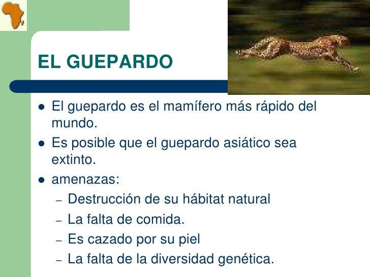 EL GUEPARDO   El guepardo es el mamífero más rápido del    mundo.   Es posible que el guepardo asiático sea    extinto....