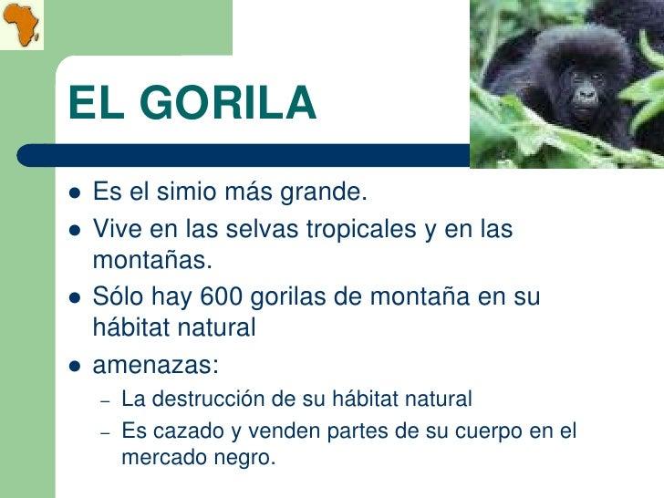 EL GORILA   Es el simio más grande.   Vive en las selvas tropicales y en las    montañas.   Sólo hay 600 gorilas de mon...