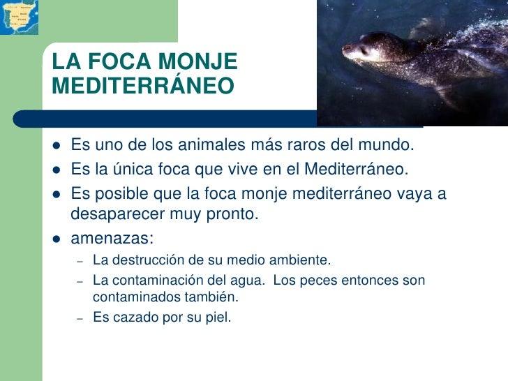LA FOCA MONJEMEDITERRÁNEO   Es uno de los animales más raros del mundo.   Es la única foca que vive en el Mediterráneo....