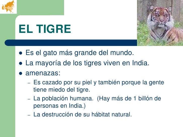 EL TIGRE   Es el gato más grande del mundo.   La mayoría de los tigres viven en India.   amenazas:    –   Es cazado por...
