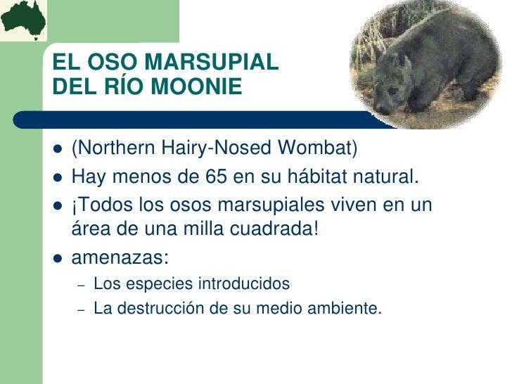 EL OSO MARSUPIALDEL RÍO MOONIE   (Northern Hairy-Nosed Wombat)   Hay menos de 65 en su hábitat natural.   ¡Todos los os...