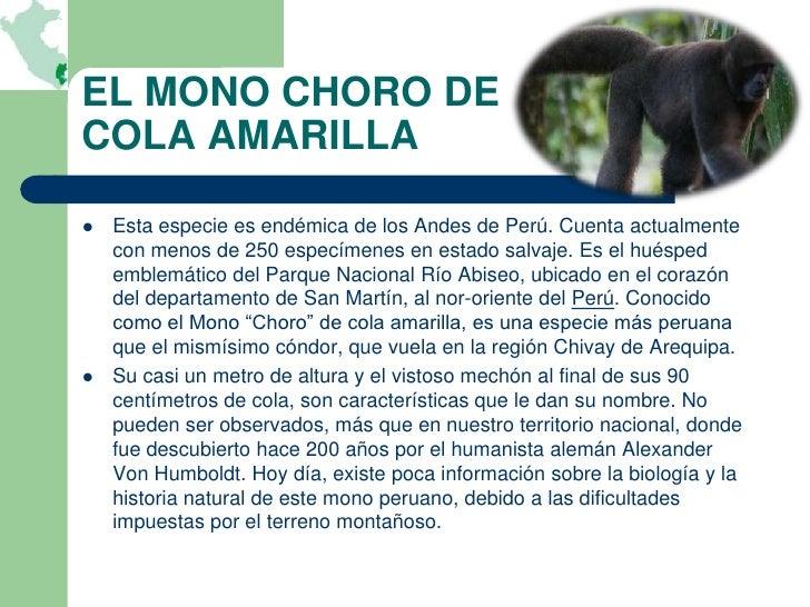EL MONO CHORO DECOLA AMARILLA   Esta especie es endémica de los Andes de Perú. Cuenta actualmente    con menos de 250 esp...