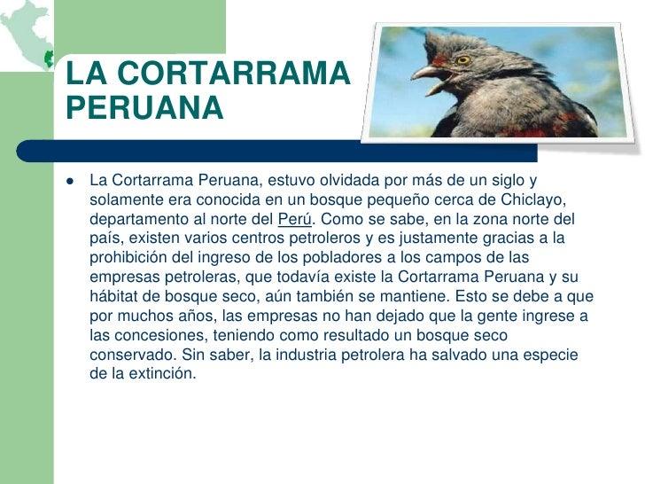 LA CORTARRAMAPERUANA   La Cortarrama Peruana, estuvo olvidada por más de un siglo y    solamente era conocida en un bosqu...