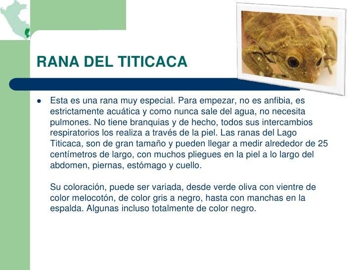 RANA DEL TITICACA   Esta es una rana muy especial. Para empezar, no es anfibia, es    estrictamente acuática y como nunca...