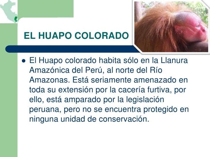 EL HUAPO COLORADO   El Huapo colorado habita sólo en la Llanura    Amazónica del Perú, al norte del Río    Amazonas. Está...