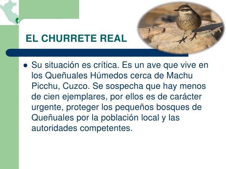EL CHURRETE REAL   Su situación es crítica. Es un ave que vive en    los Queñuales Húmedos cerca de Machu    Picchu, Cuzc...