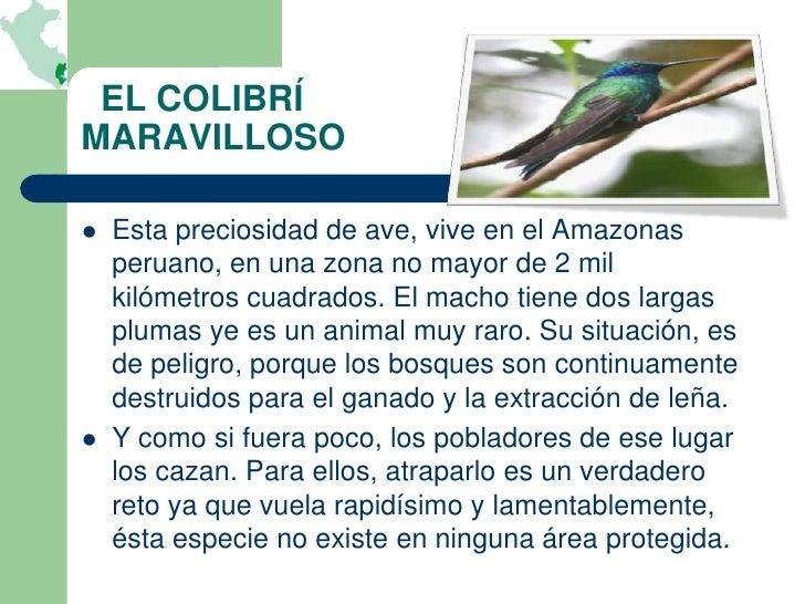 EL COLIBRÍMARAVILLOSO   Esta preciosidad de ave, vive en el Amazonas    peruano, en una zona no mayor de 2 mil    kilómet...