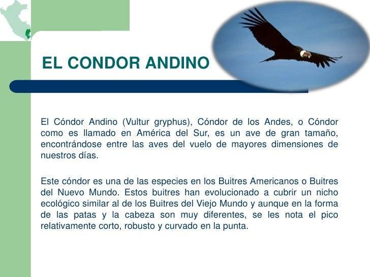 EL CONDOR ANDINOEl Cóndor Andino (Vultur gryphus), Cóndor de los Andes, o Cóndorcomo es llamado en América del Sur, es un ...