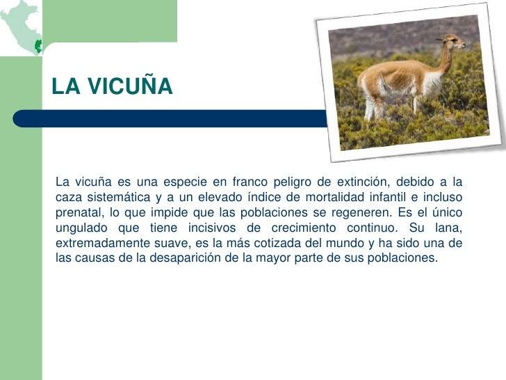 LA VICUÑALa vicuña es una especie en franco peligro de extinción, debido a lacaza sistemática y a un elevado índice de mor...