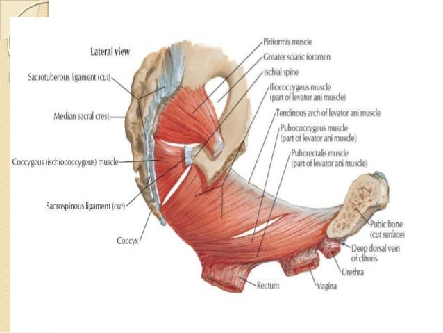 Female Pelvic Muscles Lateral View Diagram Diy Enthusiasts Wiring
