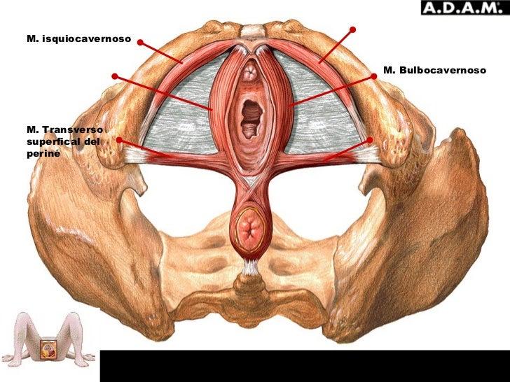 inserción clítoris