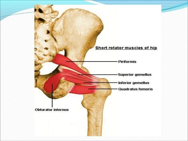 Pelvic Girdle Femur Sacroiliac Joint And Hip Joint